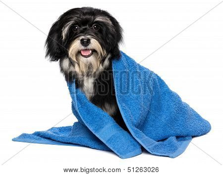 Happy Dry Havanese Puppy Dog After Bath Is Dressed In A Blue Towel