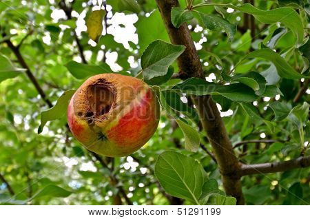 worm infested apple