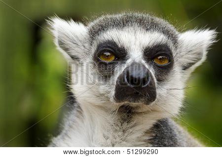 Lemur Catta Portrait