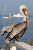 A pelican stands on a white fence at the ocean. poster