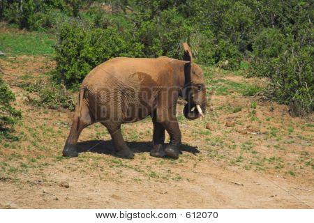 Elephant on the banks of the waterhole poster