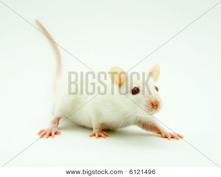 the funny  rat  isolated  looking for you poster