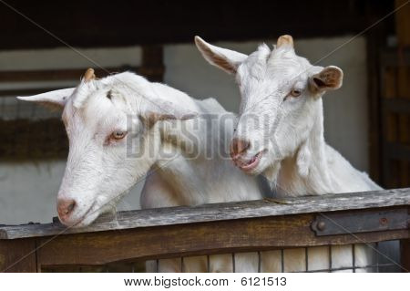 an image showing young twin kids in a farm barn looking over the gate towards the left and down. poster