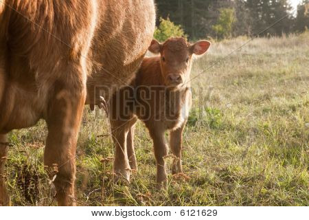 Cow - Young Calf