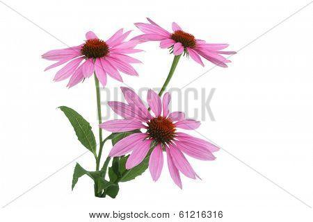 Echinacea Flowers on white