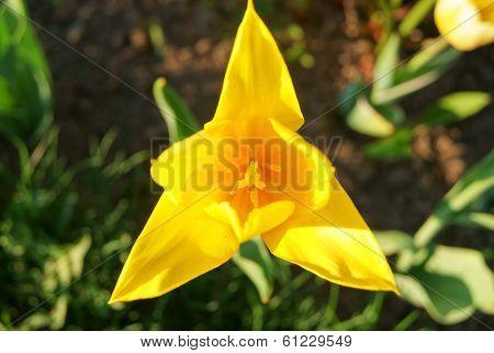 Nice Yellow Tulip, Triangular Shape
