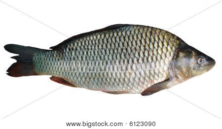 One fresh carp on a white background poster
