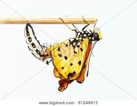 Tawny Coster Butterfly Emerging From Cocoon