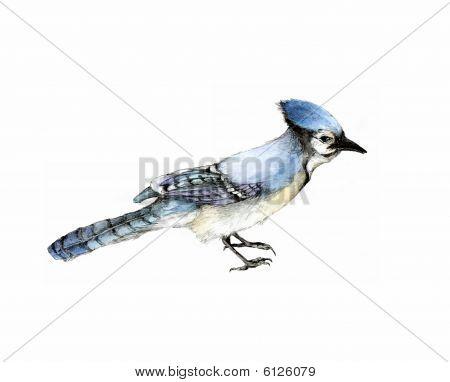 Blue Jay Illustration