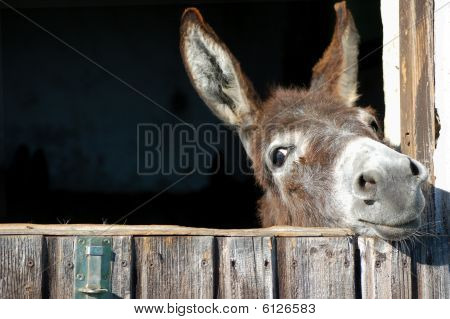 One Cute Donkey look out his Stable poster
