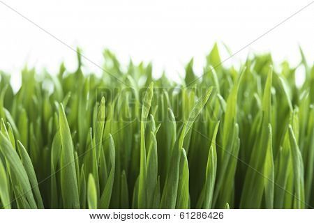 green grass with white background