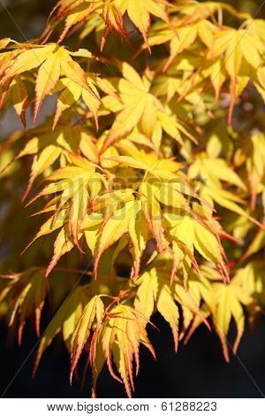 Yellow Japanese Maple Leaves