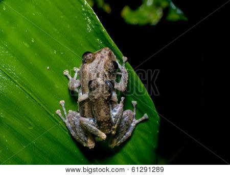 two frogs Ecuador tropical Amazon rainforest treefrog