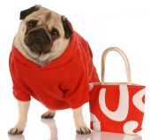 pug wearing red sweater standing beside fashionable red purse poster