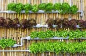 Organic hydroponic vegetables Vertical garden in thailand poster
