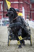 Black friesian horse carriage driving. See my other works in portfolio. poster