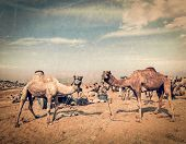 Vintage retro hipster style travel image of camels at Pushkar Mela (Pushkar Camel Fair) with grunge texture overlaid. Pushkar, Rajasthan, India poster