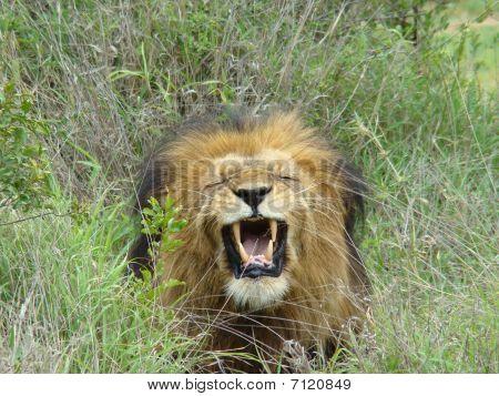 Flehmen Faced Lion