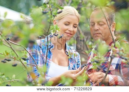 Male and female gardeners looking at aronia crops