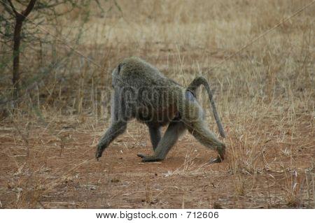 Monkey In Tanzania