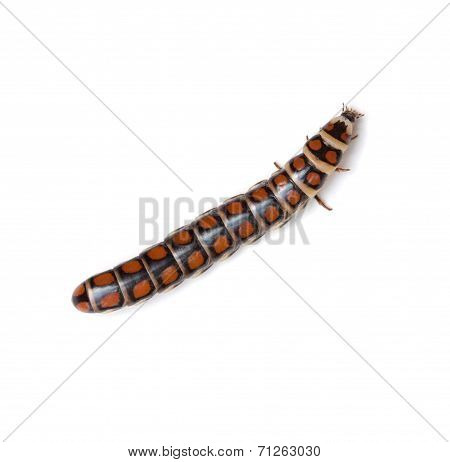 Glowworm
