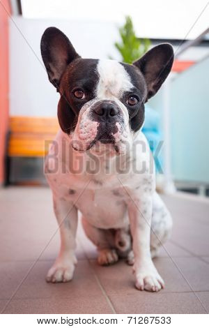 French bulldog on the balcony poster