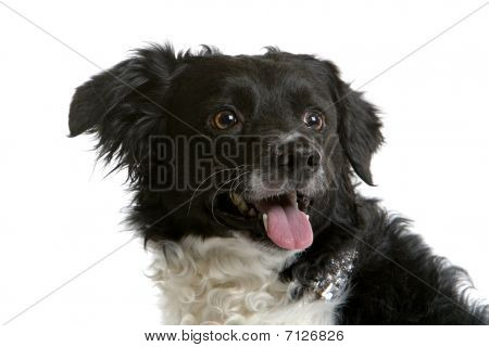 head of  a Stabyhoun/Frisian Pointer/ Frisian Pointing Dog /Stabij/ Beike/Staby isolated on a white background poster