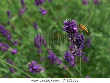 poster of Wasp flying around a field of purple lavender pollinating.