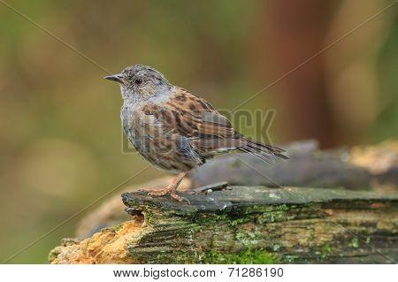 Hedge Sparrow or Dunnock