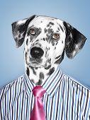 Dalmatian Businessman looking at camera poster