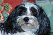 A Beautiful half Shih Tzu - Maltese dog poses for her portrait on a nice new couch in the comfort of her home. Small dogs are loved by people around the world and like to sit on your lap or be held. poster