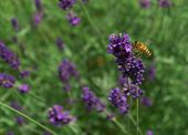 Wasp flying around a field of purple lavender pollinating. poster