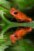 Poison frog Dendrobates pumilio from Costa Rica poster