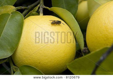 Wasp On Grapefruit