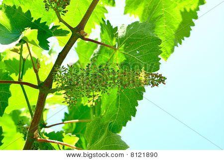 Flowering Vines