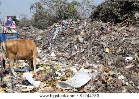 KOLKATA, INDIA - FEBRUARY 09: Streets of Kolkata. Animals in trash heap in Kolkata, India on February 09, 2014.