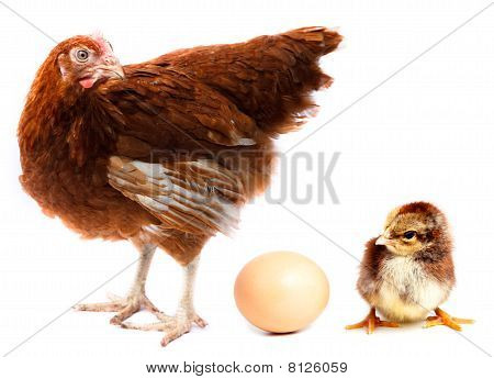 Chicken Hen, Chick And Egg.