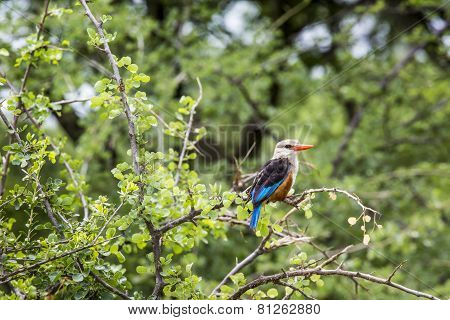 Woodland Kingfisher In Lake Manyara National Park, Tanzania
