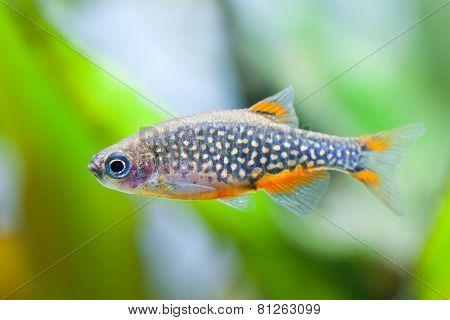 Danio margaritatus. Aquarium fish. Aqua life. The celestial pearl danio. Galaxy rasbora. Microrasbora Galaxy. poster