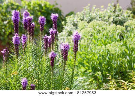 Purple Liatris Flowers