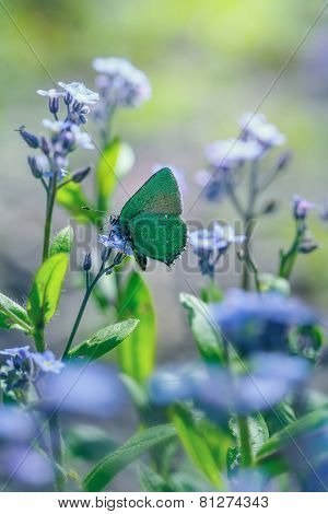green hairstreak on forget-me-not
