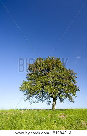 Lonely Apple Tree