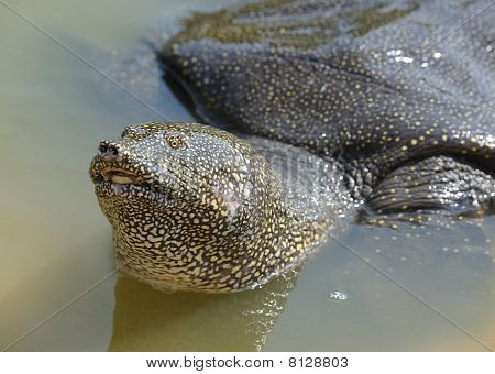 Nile Soft-shelled Turtle (Trionyx triunguis) in the river Alexander (Israel) poster