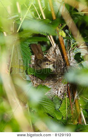 Blyth's Reed Warbler , Acrocephalus Dumetorum