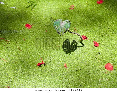 Reflection of alone lotus leaf on green duckweed poster