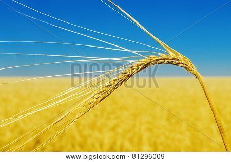 wheat ear close up and yellow field with blue sky like ukrainian flag