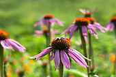 Close-up of bee collecting pollen from echinacea flower poster