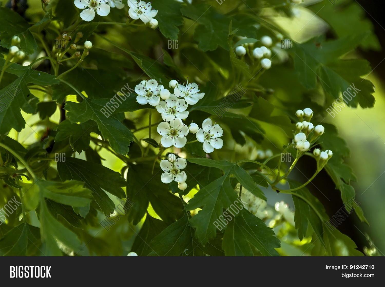 Five petal white image photo free trial bigstock five petal white flower shrub in spring mightylinksfo
