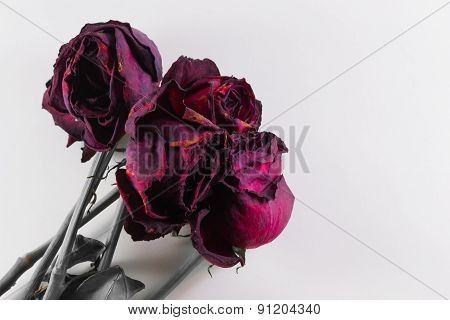 Four Dying Roses On White With Copyspace