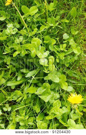 Green Clover Undergrowth